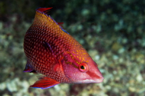 Ascension Island juvenile Hogfish; in the transition betw... by Paul Colley 